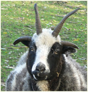 A Jacob Ewe